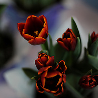 Red tulips at Eastern Market, Detroit Michigan
