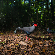 The Siamese fireback (Lophura diardi) also known as Diard's fireback is a fairly large pheasant. This species is also designated as the national bird of Thailand.