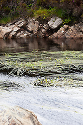 Floating Bur-reed. Sparganium angustifolium.
