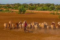 Dassanach tribe man herding cattle, Omo Valley, Ethiopia.