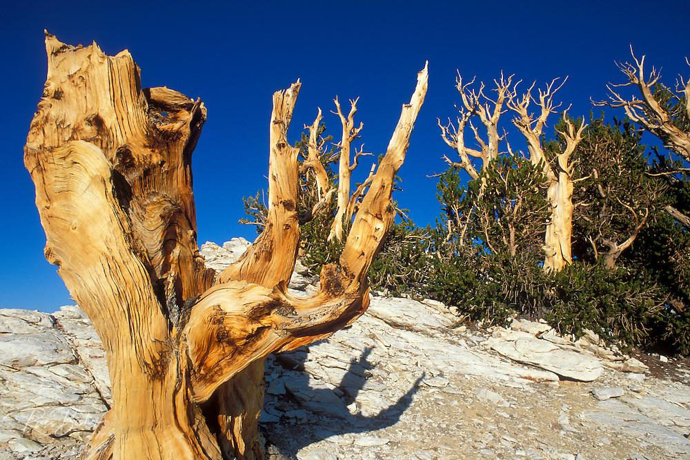 Ancient Bristlecone Pines in the Patriarch Grove, Ancient Bristlecone Pine Forest, White Mountains, California