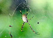 AUSTRALIA - SYDNEY  A large spider at the Royal Botanical Gardens in Sydney City Centre  04/01/2010. STEPHEN SIMPSON...