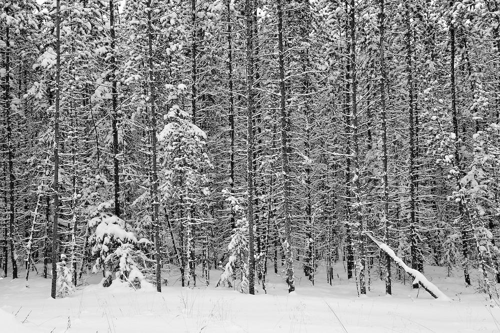 Fresh winter snow on spruce trees