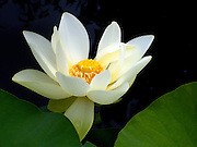 White Lotus ~ beautiful and serene.<br /> <br /> © Laurel Smith