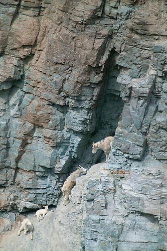 Goat lick at glacier national park