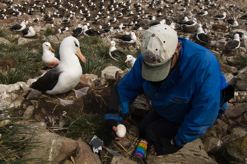 Nic Huin working with Black-browed Albatross (Thalassarche melanophrys) Long term research project to investigate the reasons why the population is in decline. Whether it be in the adult stock, chick recruitment into the population or sub-adult mortality. Birds are ringed to identify individuals which is also showing high pair and nest site fidelity. During research period the birds are marked with orange paint to observe their location at sea and to ensure that each bird in the study area is censused which allows for less handling during the season.<br /> Steeple Jason Island. FALKLAND ISLANDS.<br /> They return to the same nest annually. The nest is a a solid pillar up to 50cm high of mud and guano with some grass and seaweed incorporated. A single egg is laid in October and juveniles fledge between mid March and April. They have a circumpolar range betweeen 65 S and 20 south and breed on Subantarctic Islands, Including South Georgia and islands off southern South America. In the Falklands they are also found on Beauchene, Saunders, West Point and New Island.<br /> The Jasons (Grand, Elephant and Steeple) are a chain of islands 40 miles (64km) north and west off West Falkland towards Patagonia. Steeple is 6 by 1 mile (10Km by 1.6km) in size. From the coast the land rises steeply to a rocky ridge running along the length. <br /> THIS ISLAND HAS THE LARGEST BLACK-BROWED COLONY IN THE WORLD WITH 100,000+ PAIRS. The island is owned by WCS (Wildlife Conservation Society) Falklands Conservation have an ongoing research project with the Albatross on Steeple Jason.<br /> LISTED AS ENDANGERED