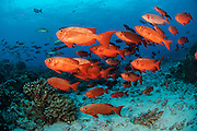 A school of Crescent-Tail Big-Eyes, Priacanthus hamrur, swims in the North Pass of Fakarava Atoll, French Polynesia