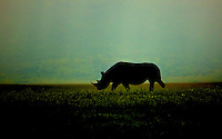 Black Rhino silhouetted against an evening rain shower. Ngorongoro Crater, Tanzania
