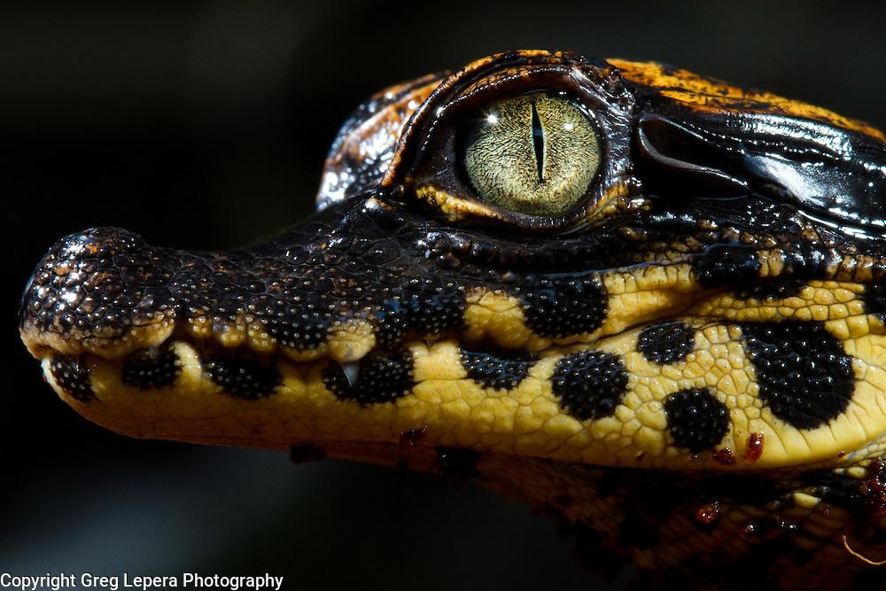 A newly hatched dwarf crocodile, Osteolaemus tetraspis.