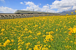 "File photo taken on Aug. 4, 2015 shows a bullet train running along fields of rape flowers on the Lanzhou-Xinjiang high-speed railway, northwest China's Qinghai Province. ""Building more high-speed railways"" has been a hot topic at the annual sessions of China's provincial legislatures and political advisory bodies intensively held in January. China has the world's largest high-speed rail network, with the total operating length reaching 19,000 km by the end of 2015, about 60 percent of the world's total. The expanding high-speed rail network is offering unprecedented convenience and comfort to travelers, and boosting local development as well. Chinese companies have developed world-leading capabilities in building high-speed railways in extreme natural conditions. High-speed railway routes across China have been designed to suit its varying climate and geographical conditions. The Harbin-Dalian high-speed railway travels through areas where the temperature drops to as low as 40 degree Celsius below zero in winter, the Lanzhou-Xinjiang railway passes through the savage Gobi Desert and the Hainan Island railway can withstand a battering from typhoons. The China Railway Corp. plans to spend another 800 billion yuan (around 120 billion U.S. dollars) in 2016, especially in less-developed central and western regions. EXPA Pictures © 2016, PhotoCredit: EXPA/ Photoshot/ Cai Zengle<br />