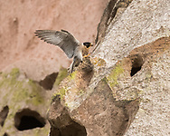 Peregrine falcon landing on a ledge on a cliff, wings up for balance, © 2015 David A. Ponton, [Prints to 8x10, 16x20, 24x30, or 40x50 in. with no cropping]