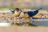 Greater-Striped Swallow pair collecting mud to build its nest with, De Hoop Nature Reserve, Western Cape, South Africa