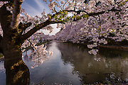 The canals surrounding Hirosaki Park have cherry trees on their banks.