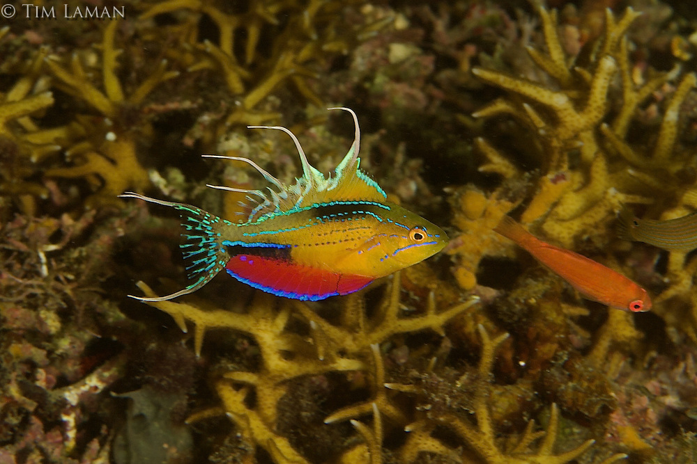 New species of flasher wrasse discovered in Triton Bay..Male flashing (fins extended, colors on).  .Female in front of male.. (Same exact fish as R4-070428-619)