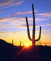 I walked miles and miles in the Arizona desert to find and photograph this perfect saguaro cactus sunset.  Wile E Coyote would be proud.