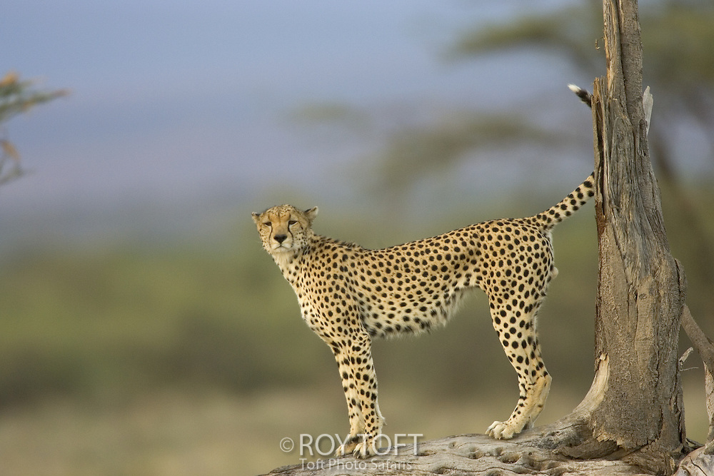 A cheetah with raised tail stands at the base of a tree.