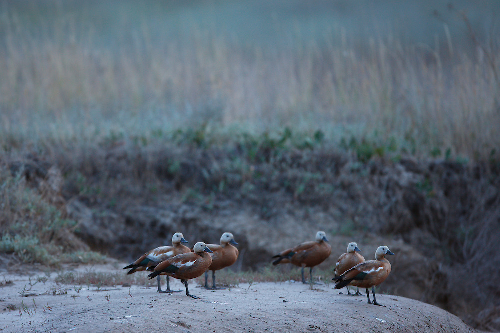 Flock of Ruddy Shelduck on a dry stream, Bagerova Steppe, Kerch Peninsula, Crimea, Ukraine