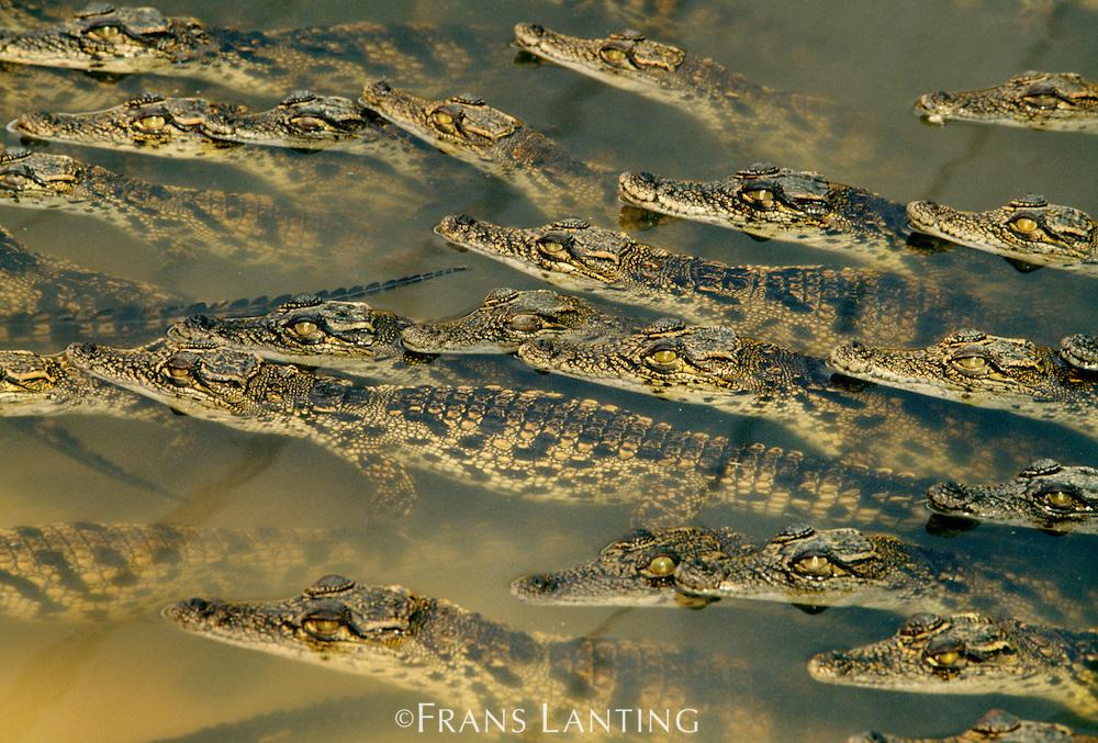 Young crocodiles in croc farm, Crocodylus niloticus, Maun, Botswana