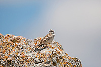 A Lark Sparrow rests on a rock you can find this bird along roadsides and farmlands.