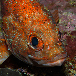 Toadstool Grouper, Trachypoma macracanthus