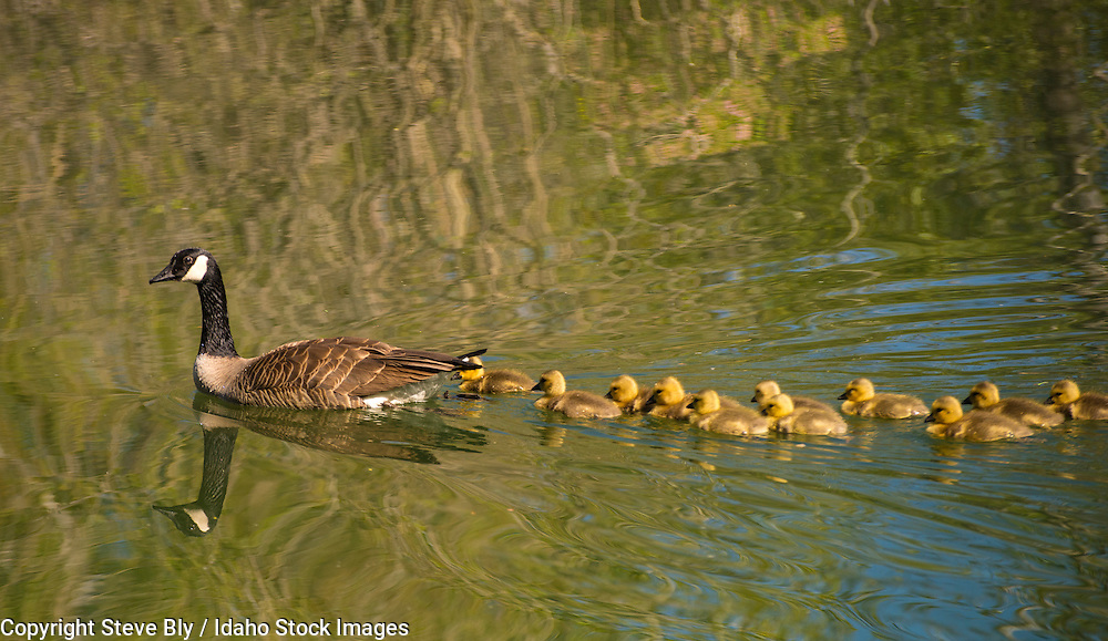 Canada goose mother swimming with 12 newborn chick goslings in Idaho Lake