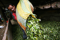 A worker pours out freshly picked coca leaves onto the floor of a lab where the leaf will be processed into coca paste, in a remote area of the southern Colombian state of Nariño, on Monday, June 25, 2007. Although government efforts to eradicate coca have reached many parts of Colombia, still the coca business thrives. (Photo/Scott Dalton)