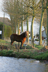 Boerenpaard<br /> Paard in de weide te Duffel<br /> Photo© Dirk Caremans
