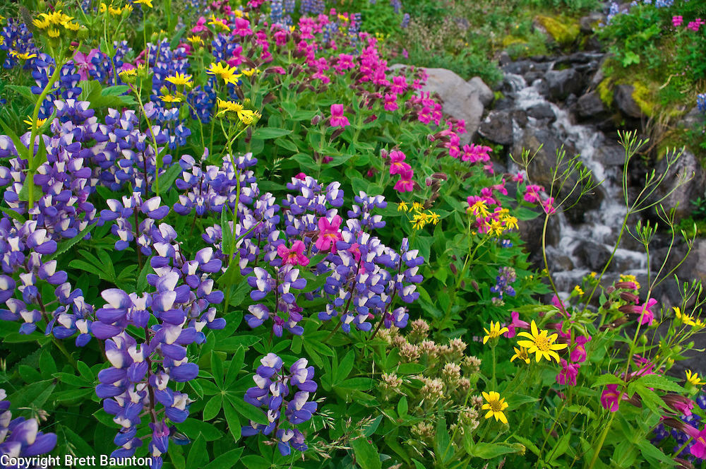 Mt. Baker Wilderness Area; Wildflowers; Heliotrope Ridge; Meadow, Lupine, Arnica, Monkeyflower, Paintbrush, Creek, Pacific NW; Washington State
