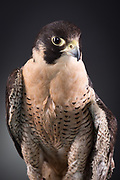 Peregrine Falcon (Falco peregrines). Peregrine Falcons are the fastest species on the planet, logging speeds of over 200 miles per hour when they dive. Gavin suffered a broken wing that could not be fixed.  He is<br />