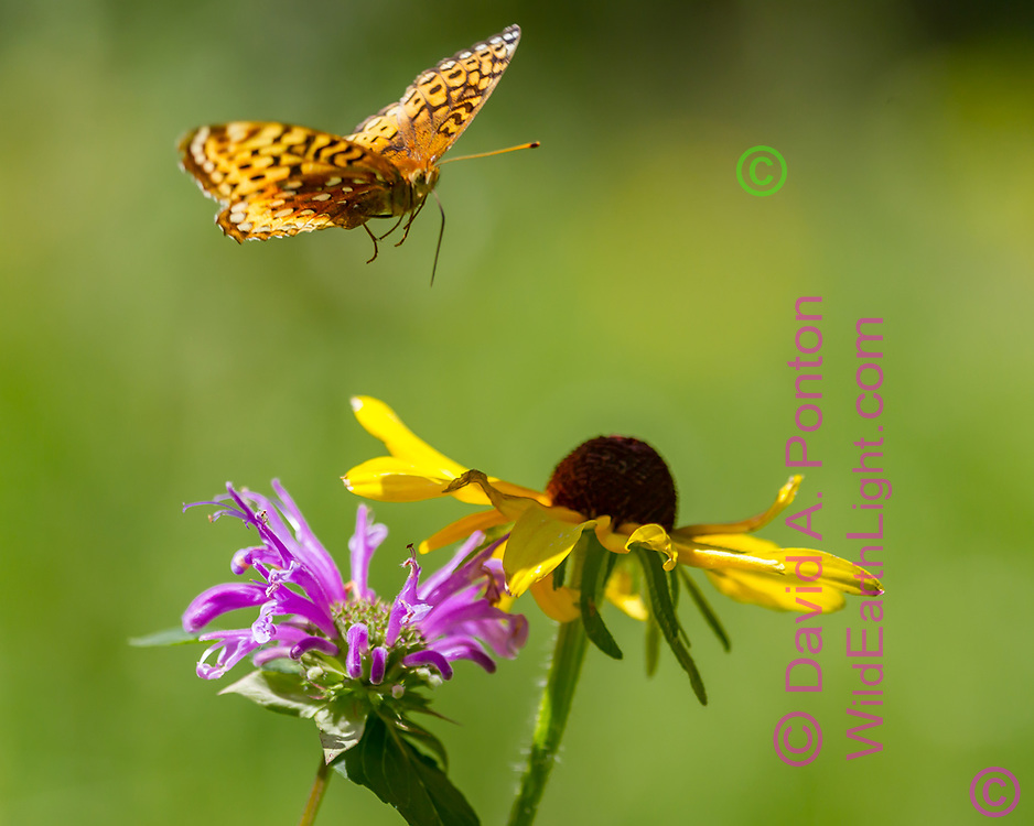 Fritillary butterfly flies to flower blossoms, black-eyed Susan and horsemint, mountain meadow, Jemez Mountains, NM. © 2010 David A. Ponton