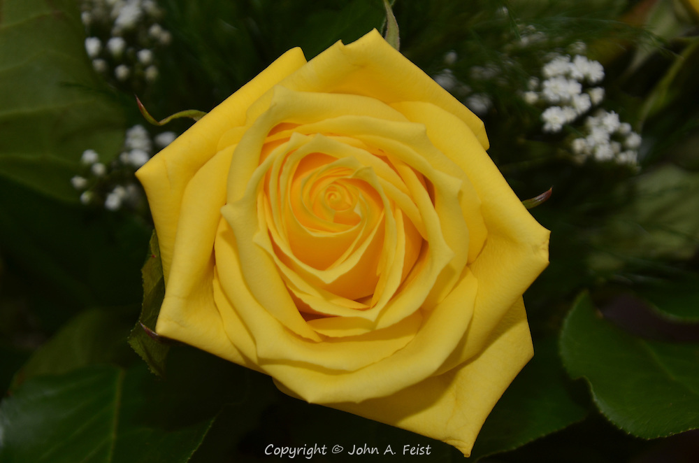 This yellow rose seems to spiral into itself indefinitely.  Hillsborough, NJ