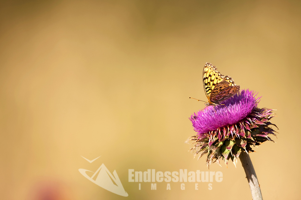 Even the butterflies are attracted to the purple colors of the blooming thistles on an early July morning!