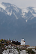 Kelp Gull, nest in Kaikoura, New Zealand