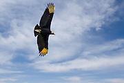 Black Vulture soaring showing its feild marks