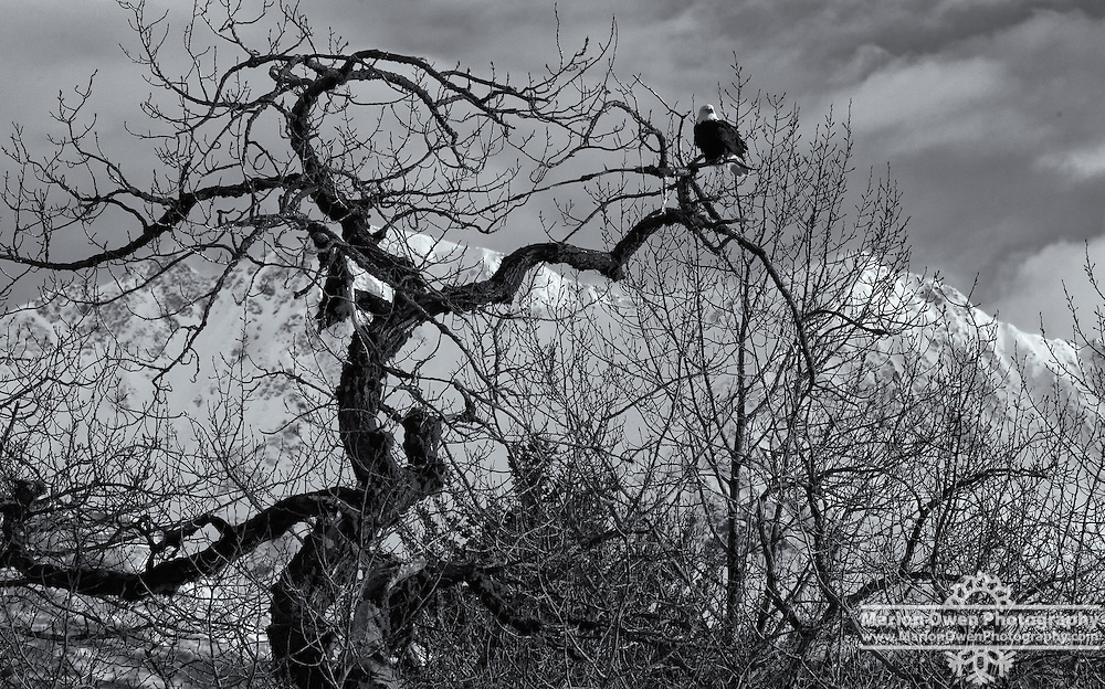 Bald eagle settles on twisted cottonwood tree in Kodiak, Alaska