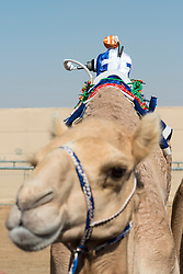 Remote controlled jockey at camel races at Dubai Camel Racing Club at Al Marmoum in Dubai United Arab Emirates