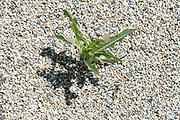 grass growing between gravel
