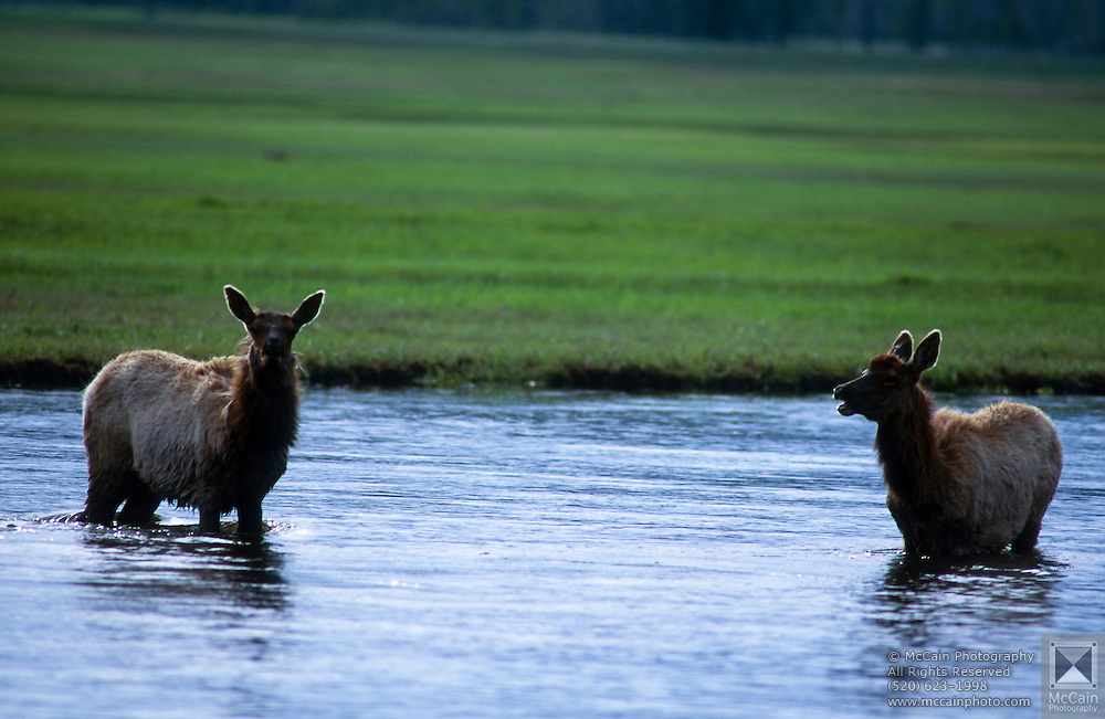 Elk (Cervus Canadensis) in water, Madison Plateau, Yellowstone National Park, Wyoming ..Subject photograph(s) are copyright Edward McCain. All rights are reserved except those specifically granted by Edward McCain in writing prior to publication...McCain Photography.211 S 4th Avenue.Tucson, AZ 85701-2103.(520) 623-1998.mobile: (520) 990-0999.fax: (520) 623-1190.http://www.mccainphoto.com.edward@mccainphoto.com.