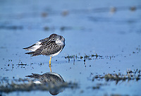 Lesser Yellowlegs (Tringa flavipes), Fish Creek Provincial Park, Calgary, Alberta, Canada - Photo: Peter Llewellyn