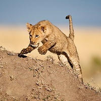 Africa, Kenya, Masai Mara Game Reserve, Young Lion cub (Panthera leo) leaps over termite mound while playing at sunrise on savanna