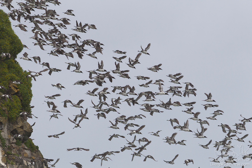 A large flock of Common Murres (Uria aalge), also known as Common Guillemots, dives off Chapman Point near Cannon Beach, Oregon. The area is home to one of the largest colonies of breeding murres on the Oregon coast.