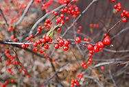 Red-berried Swamp Smilax