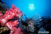 lionfish, zebrafish or turkeyfish, Pterois miles, and soft coral, Similan Islands, Thailand ( Indian Ocean )
