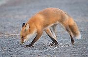A Red fox walks a walking trail.