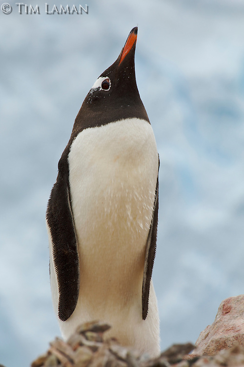 Portrait of a Gentoo Penguin (Pygoscelis papua) in Neko Harbor, Andvord Bay.