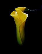 Calla Lilies, , Color Calla Lilies, Black and White Calla Lilies,