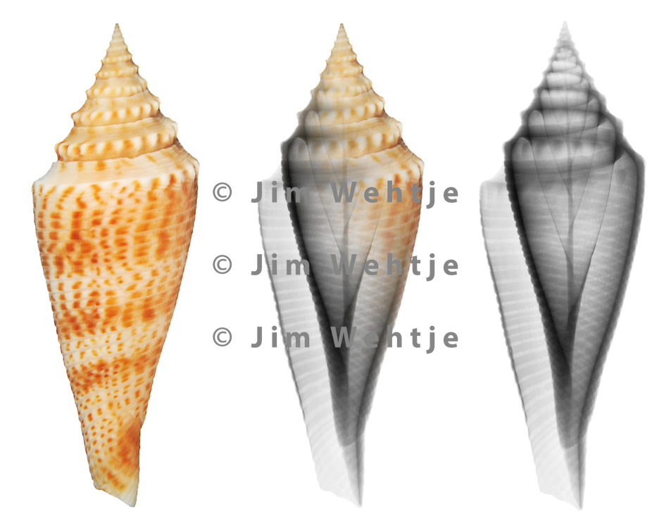 X-ray blend study of an Orbigny's cone shell (Conus orbignyi, on white) by Jim Wehtje, specialist in x-ray art and design images.