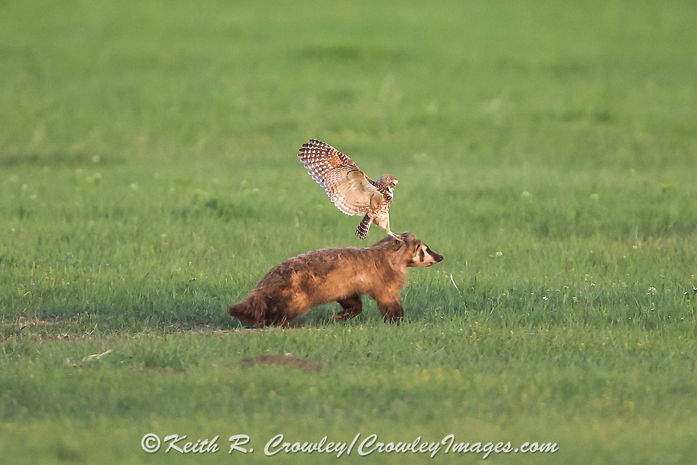 A Burrowing owl attacks an American badger as it approaches its nesting site in a Prairie dog colony at Badlands National Park.