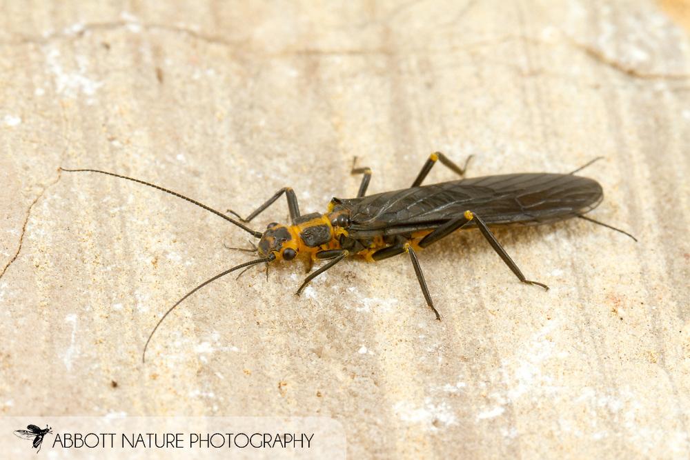 Clio Stripetail Stonefly (Clioperla clio)<br /> United States: Alabama: Tuscaloosa Co.<br /> Tulip Tree Springs off Echola Rd.; Elrod<br /> 23-Feb-2017<br /> J.C. Abbott #2894