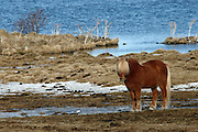 The pretty Icelandic horses roam around the shores of Lake Myvatn in Northern Iceland